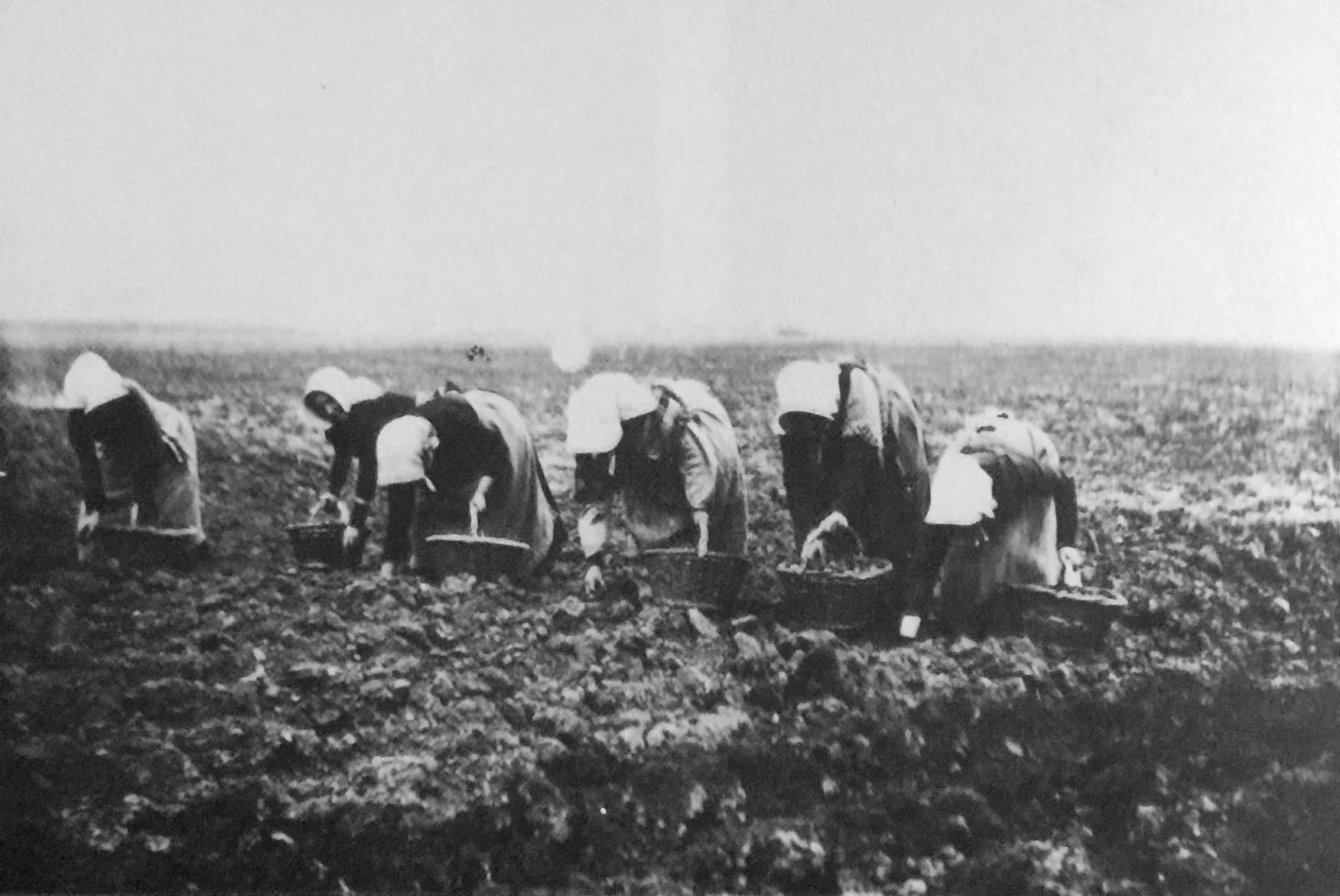 Potato Planting in Pinchbeck