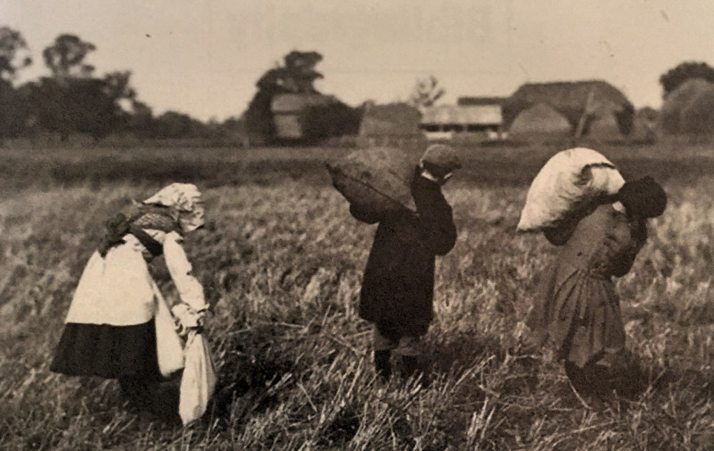 Gleaning in Pinchbeck (Museum of Lincolnshire Life cortesy LCC