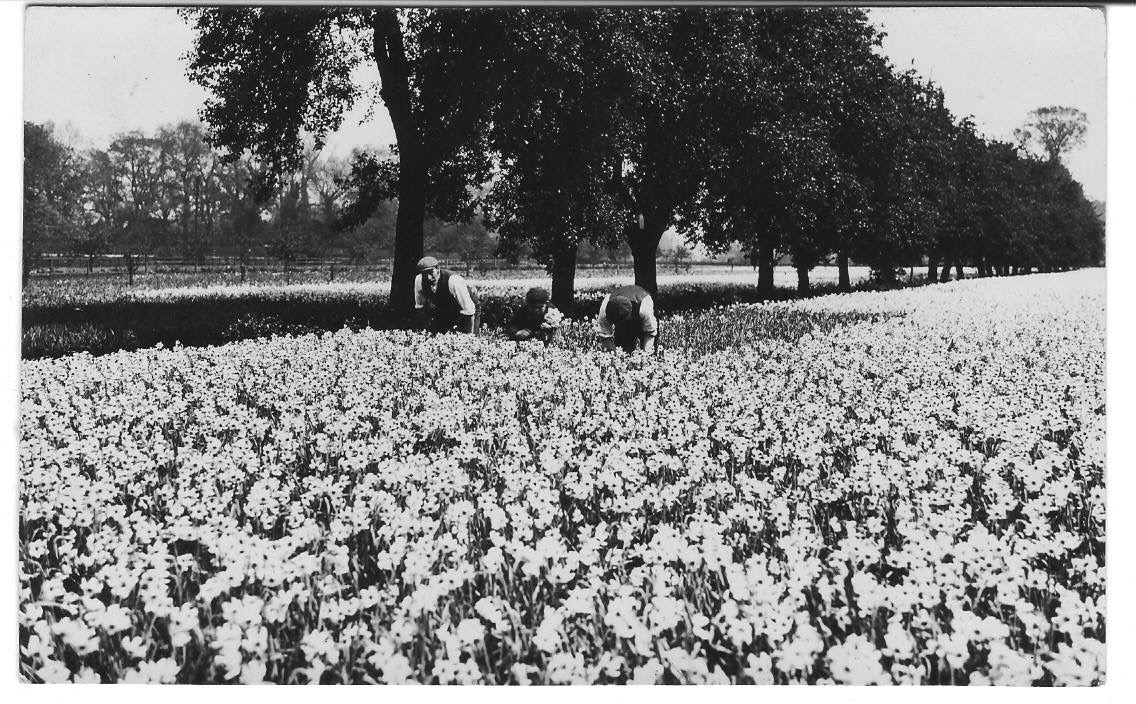 Gathering Narcissi at Spalding
