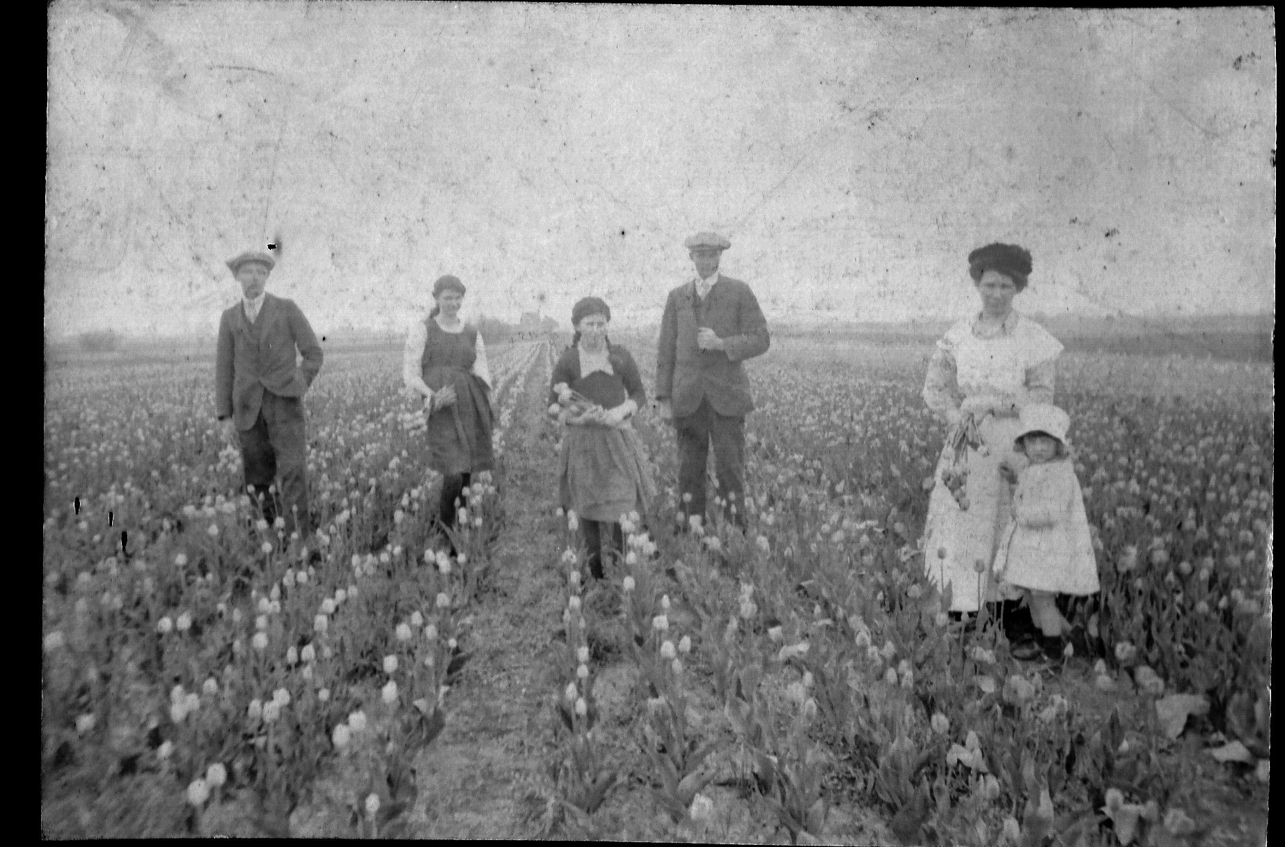 Tulip picking in Quadring about 1920