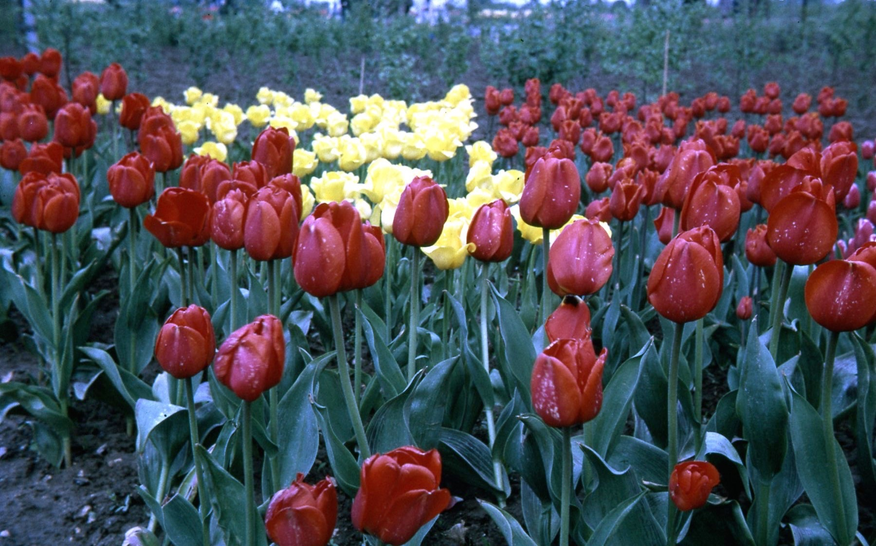 Tulip Time probably 1953